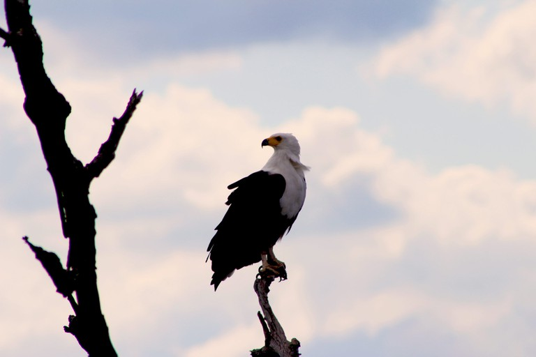 The African Fish Eagle's call is very distinctive and can be heard from miles away