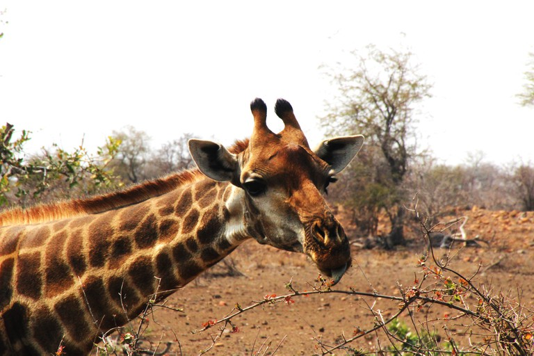 You're guaranteed to see a giraffe grazing on the side of the road