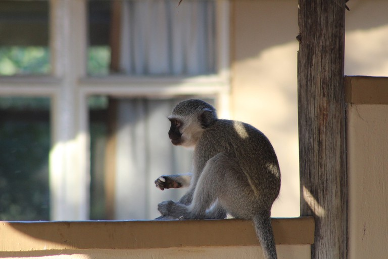 Keep food locked away at all times. The monkeys aren't shy and will grab whatever they can, whether you're close by or not