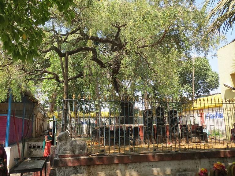 Vanni Tree at Marundeeswarar Temple