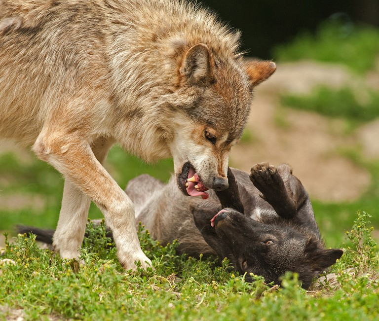 A grey wolf playfighting with its cub