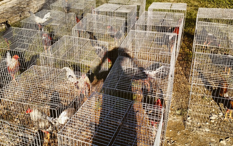 Roosters in cages