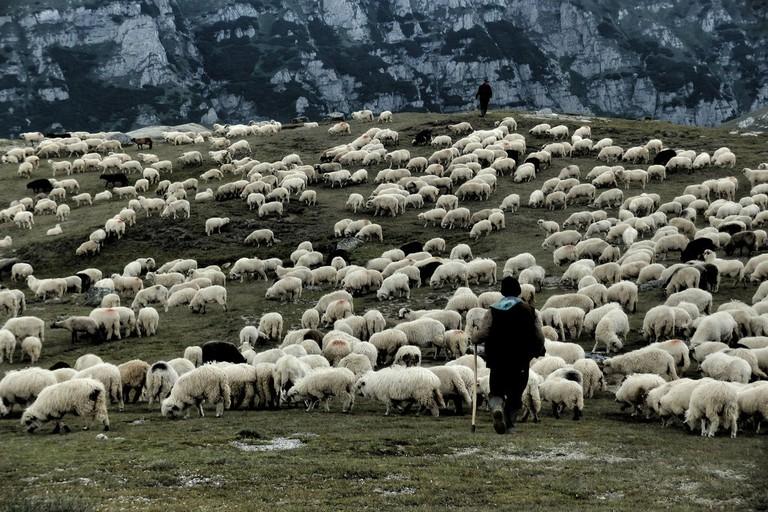 Sheep grazing in Romania's Bucegi mountains