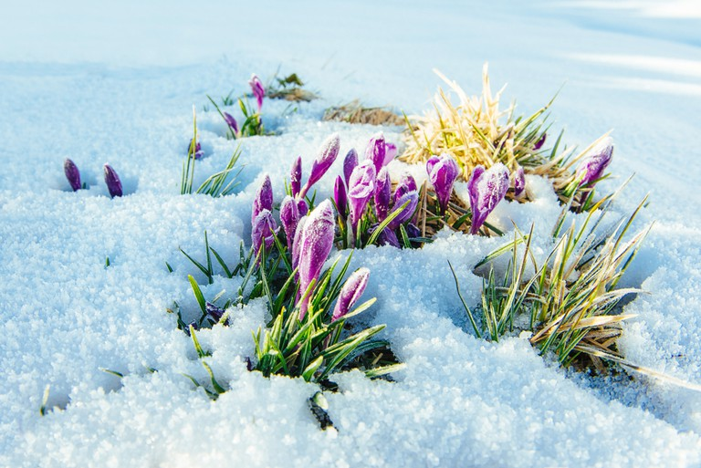 Crocuses | © Standret/Shutterstock