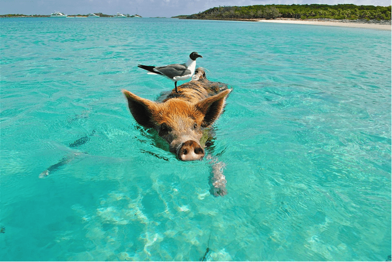Swimming pig with a friend on his back
