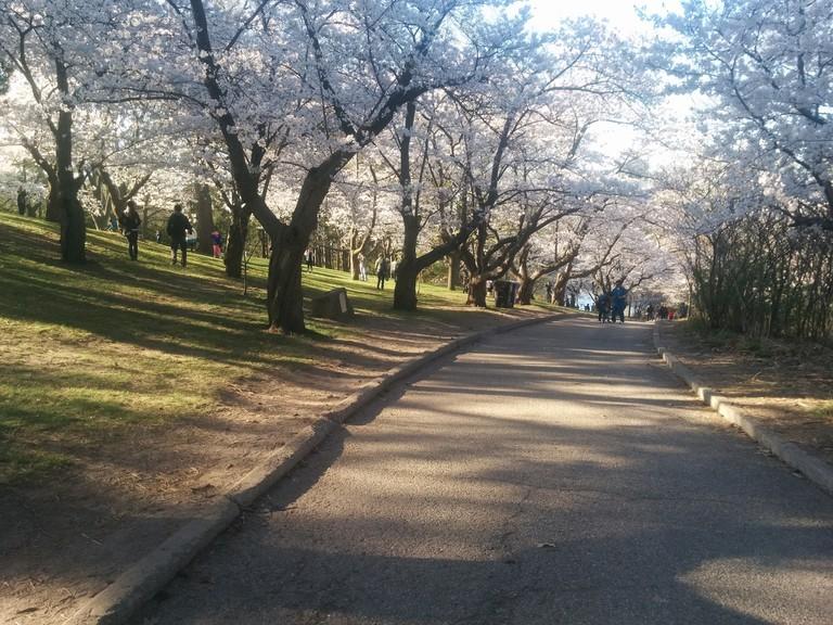 Sakura cherry blossoms in High Park