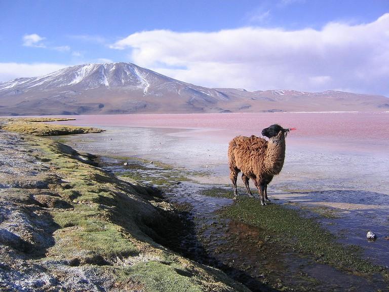 Laguna Colorada and a llama