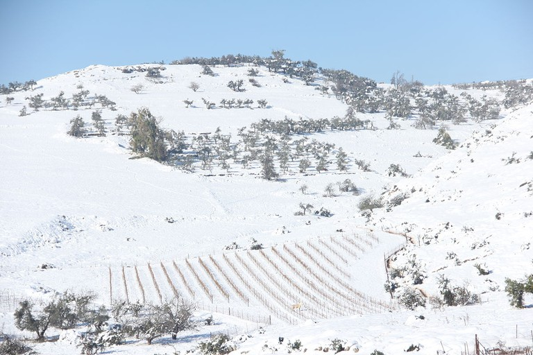Snow in northern Israel covers a vineyard