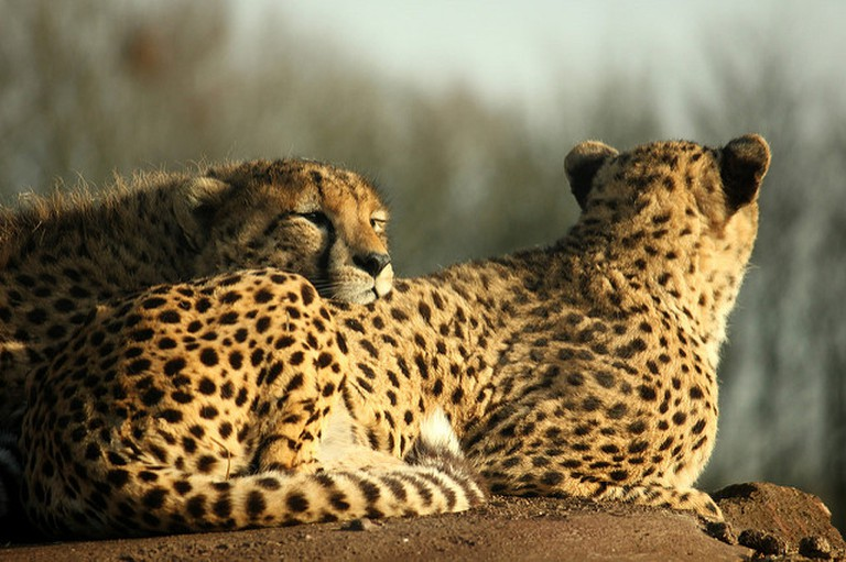 Northwest African cheetah