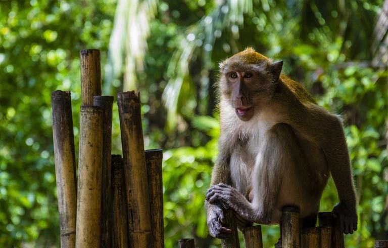 Mono cangrejero