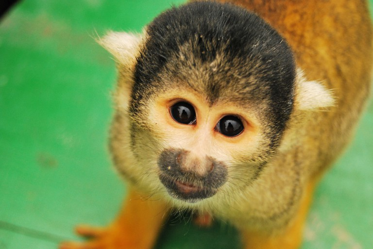 Squirrel Monkey on the pampas tour