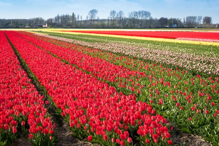 Flower fields near Lisse