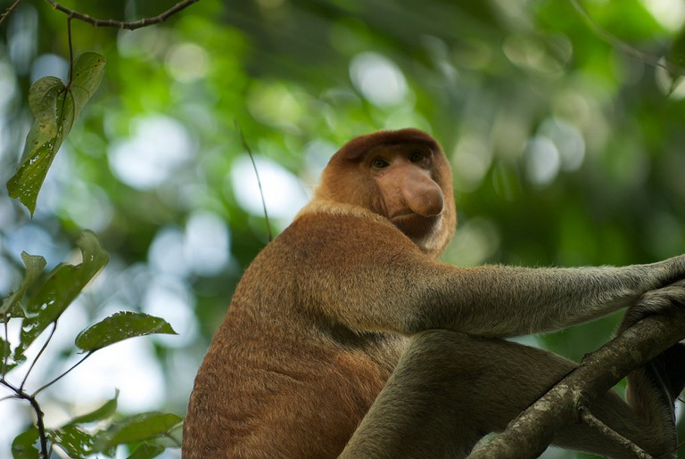 Native Proboscis Monkey