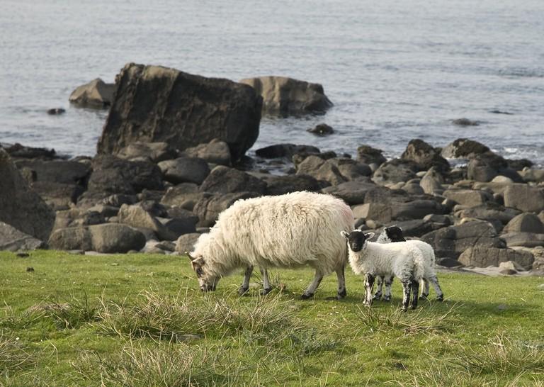 Scottish Lambs | © Berit Watkin/Flickr