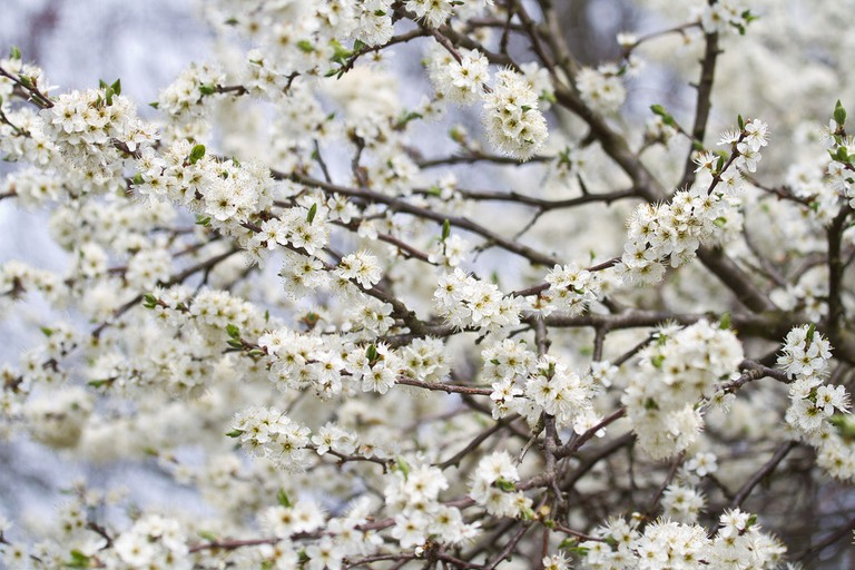 A lighter variety of cherry blossom at Berlin's Botanical Gardens
