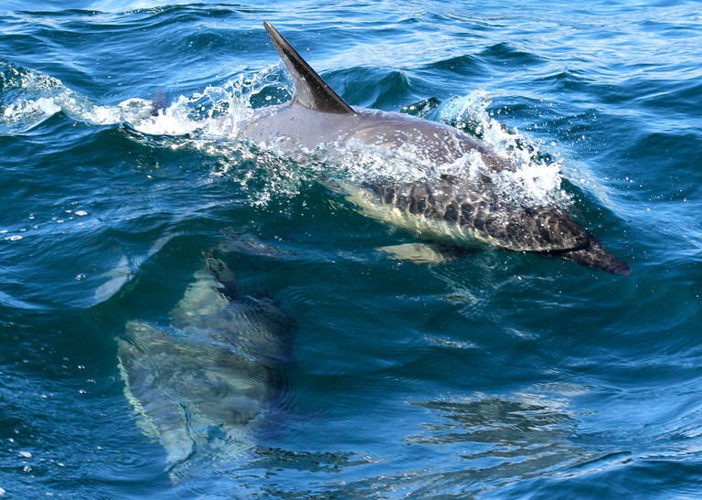 Common Dolphins In Scotland | © Emma/Flickr