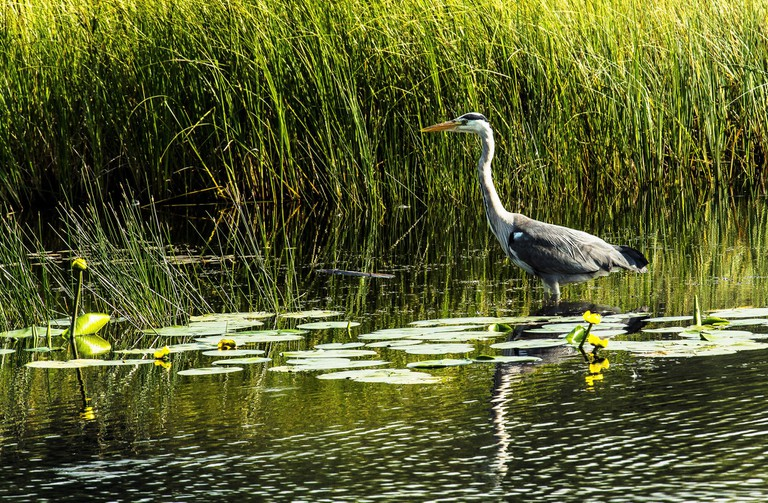 A heron wades in the water