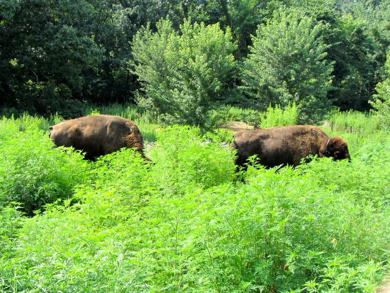 Bison at Buffalo Rock State Park | © Richie Diesterheft/Flickr