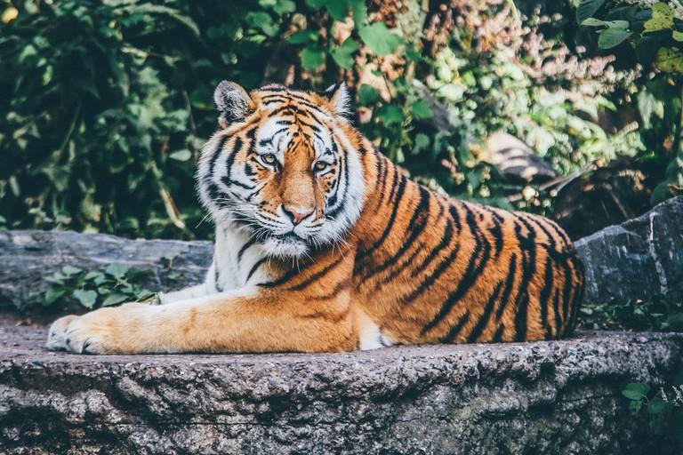 Tiger | © Pexels/Pixabay