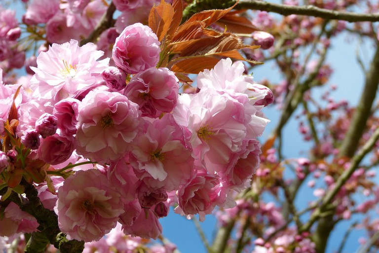The blossoms unfold in soft and delicate pinks and whites