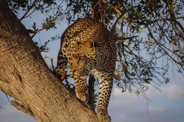 Leopards like to rest on tree branches, so make sure to look up every once in a while