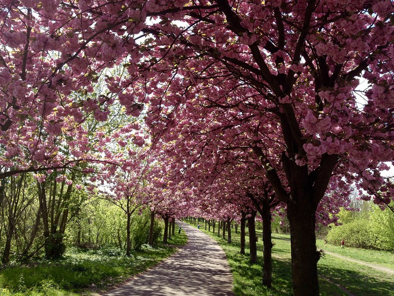 The avenues of Cherry blossom trees along the 'Mauer Weg' route