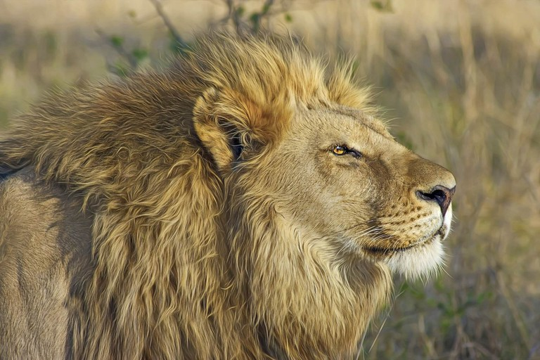 Enquire about lion feeding times when entering the camp, it's quite a sight