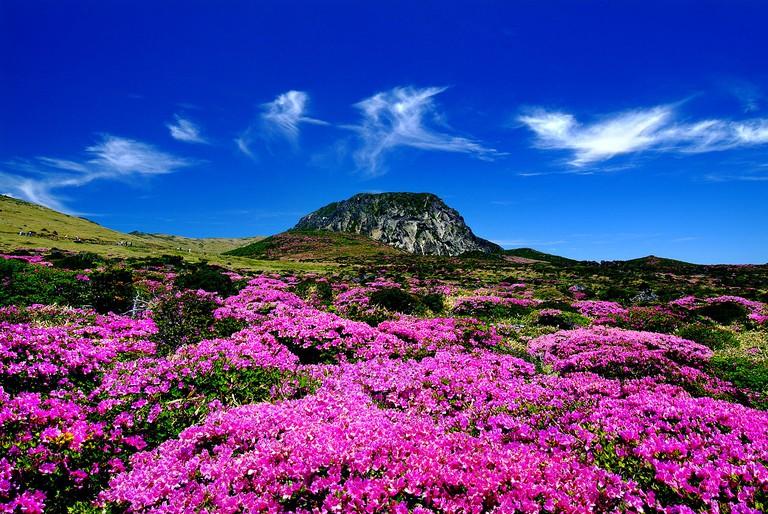 Azaleas bloom on Hallasan Mountain