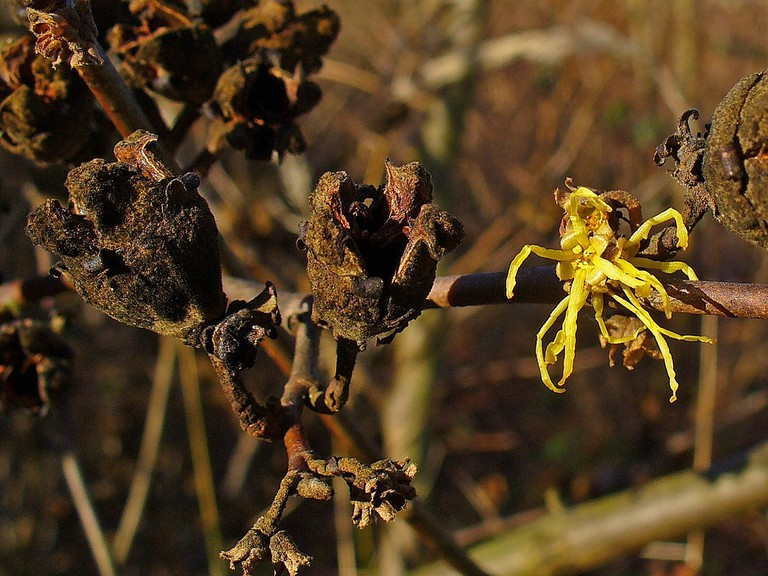 Hamamelis virginiana |© H. Zell / Wikimedia Commons
