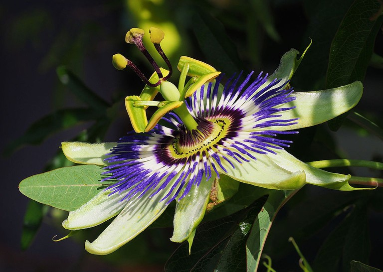 Passiflora |© Petar Milošević / Wikimedia Commons
