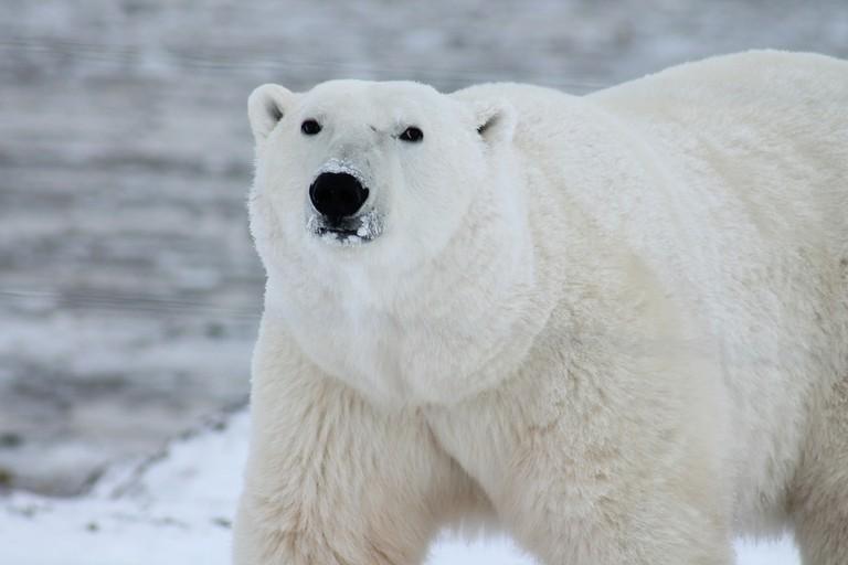 Polar bears | © robynm/Pixabay