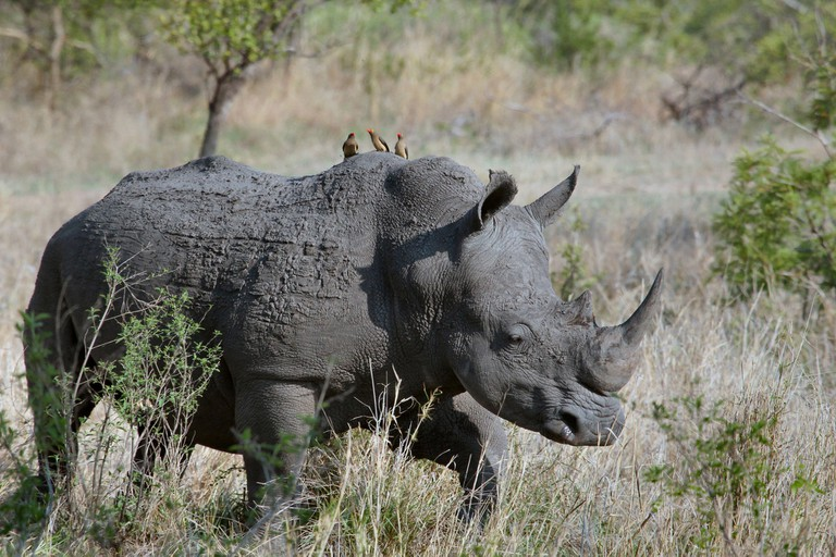 A white rhino in the Kruger National Park