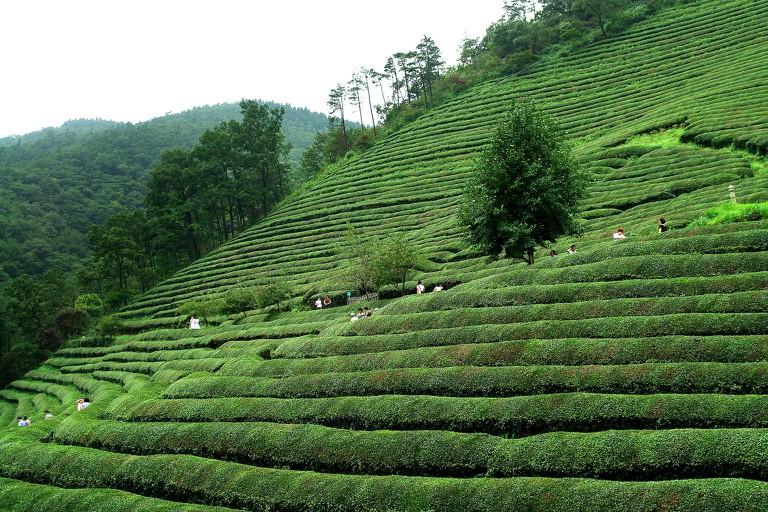 Daehan Dawon's green tea fields
