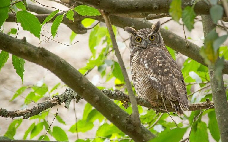 South American Great Horned Owl