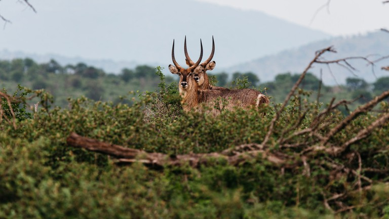 The waterbuck inhabits areas that are close to water