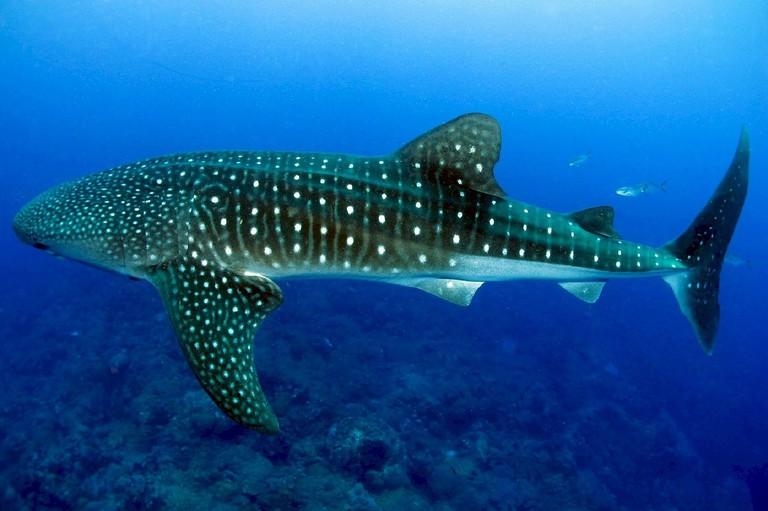 Whale Shark   © Skeeze/Pixabay