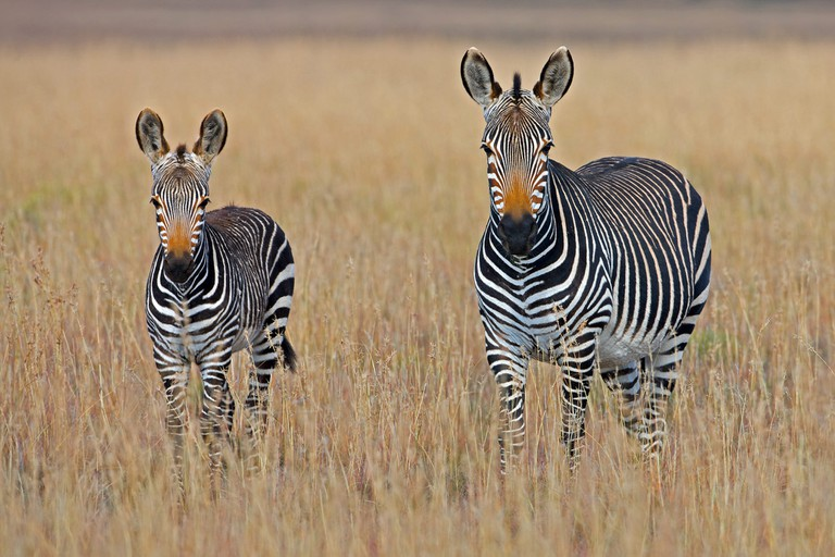 No two Zebra have the same striping, as with human fingerprints the stripes of Zebra are unique to each individual