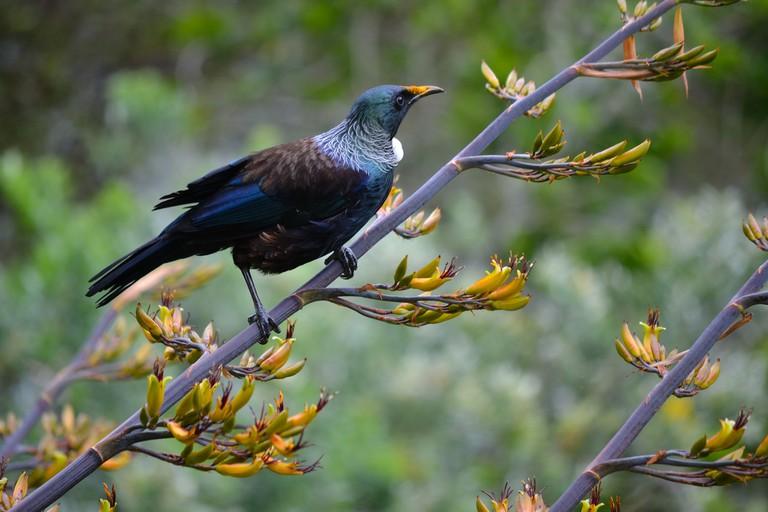 Tui Feeding on Flax Nectar at Zealandia