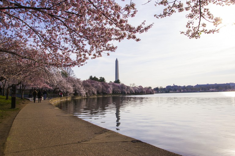 Cherry Blossoms, DC