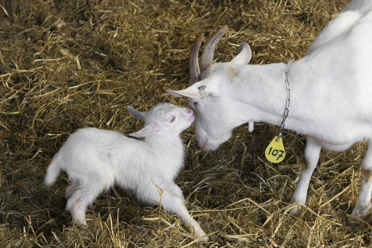 Goats at Amsterdamse Bos