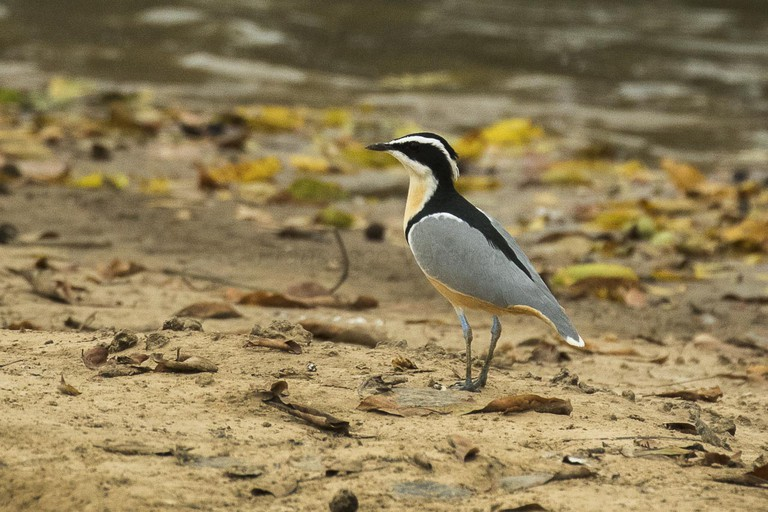 Egyptian Plover, (c) Francesco Veronesi / Flickr