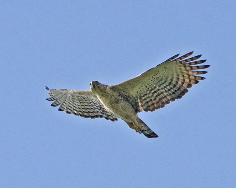 Hawk-eagle, (c) Lip Kee / Flickr