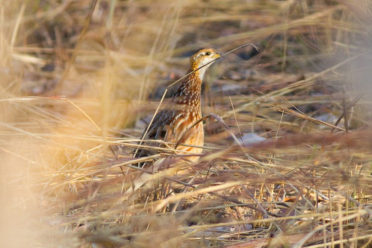 White-throated Francolin (c) Ron Knight / Flickr