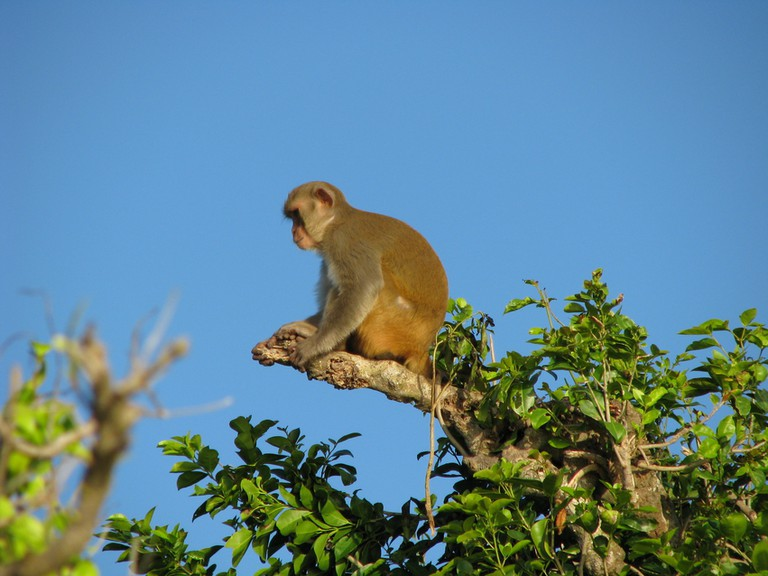 A monkey on Cayo Santiago