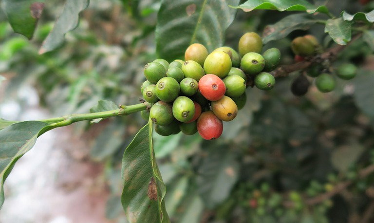 Coffee Farm Tour| ©Jean Wandimi/ Authors own