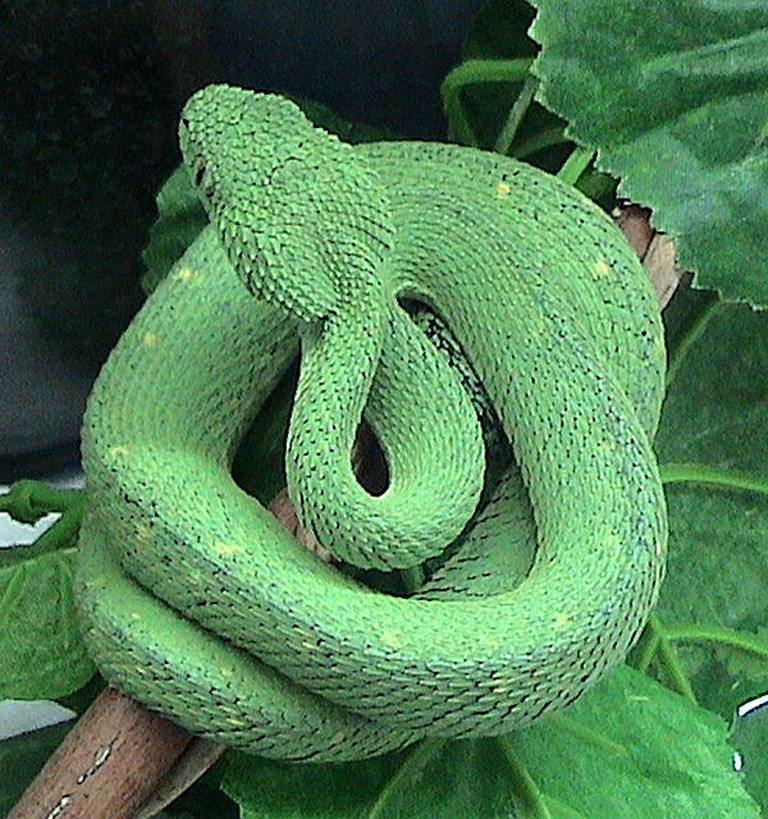 Atheris Chlorechis, (c) Wikimedia Commons / Flickr