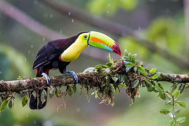 Keep billed toucan