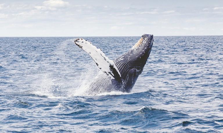 Humpback Whale| © Thomas Kelley / Unsplash