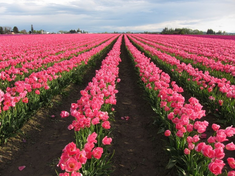 Skagit Valley Tulips | © GoToVan / Flickr