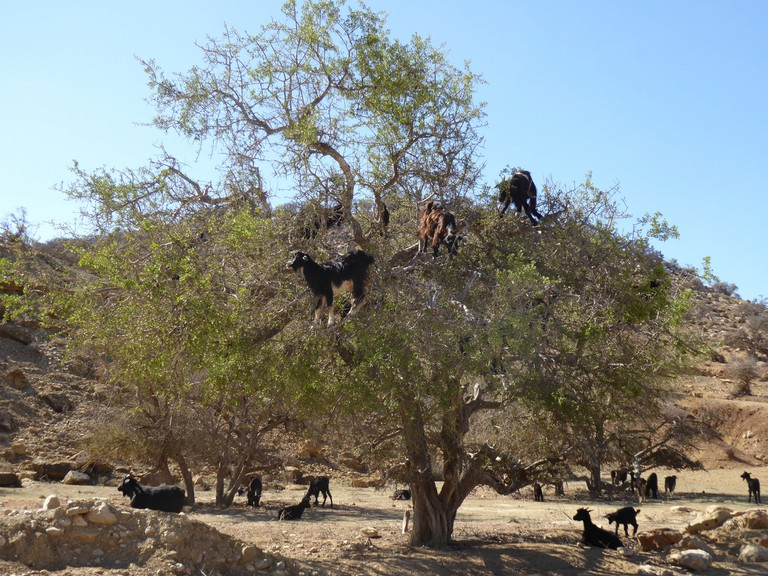 "<a href=""https://www.flickr.com/photos/mikelsantamaria/16562697425/"" target=""_blank"">Goats in and around a Moroccan argan tree"